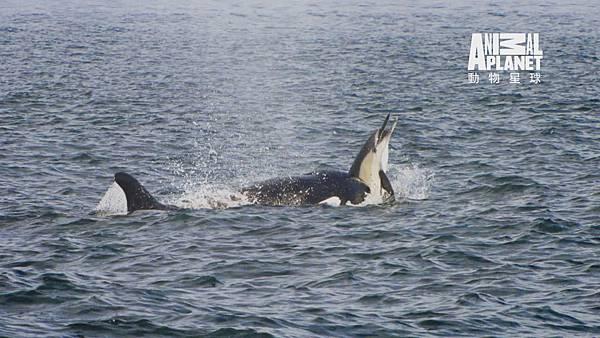 虎鯨突然冒出來 狠狠地咬住海豚