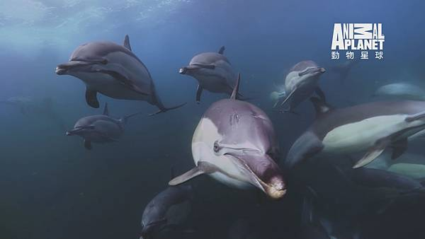 上千隻海豚正在游泳、嬉戲
