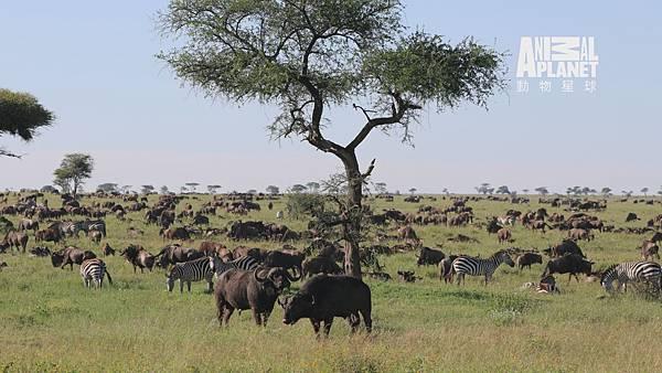 動物星球頻道《非洲動物大遷徙》