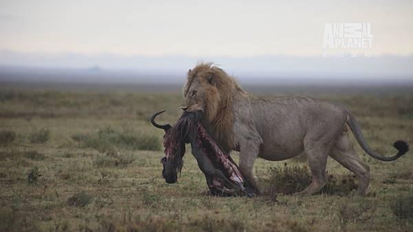 落單的牛羚不幸成為獅子腹中食物