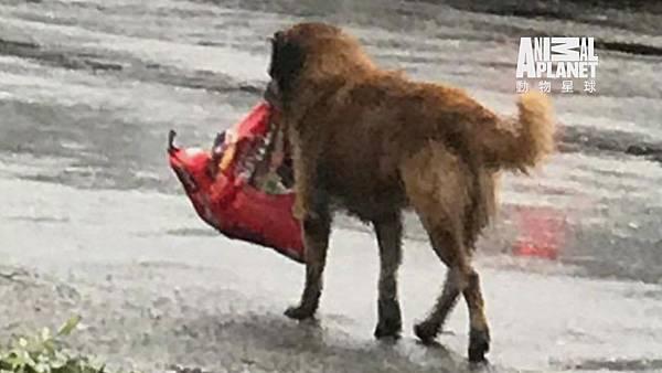 呆萌小狗歐提斯颶風來前搞失蹤 災後叼狗食悠哉現身