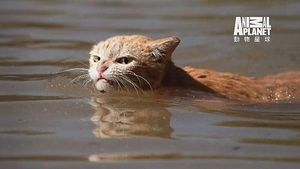 哈維風災帶來強大的雨量 陸地成汪洋一片 許多動物流離失所