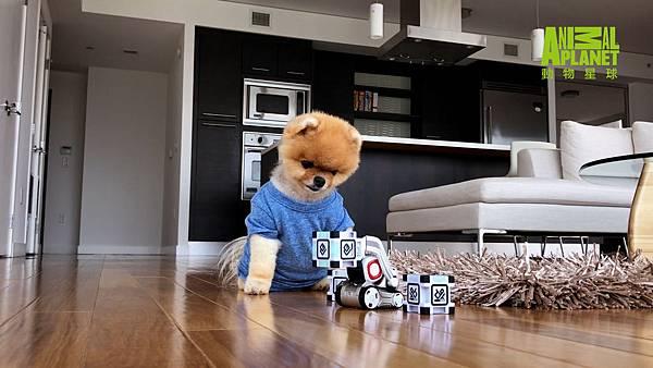 超可愛博美犬吉夫粉絲和追蹤高達數百萬