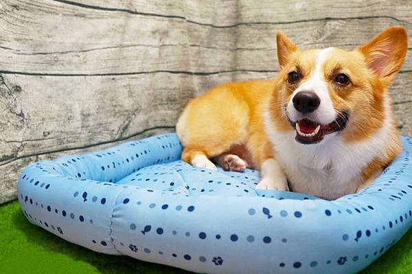 【新聞照片1】《柯基犬肥油X吃喝拉撒日誌》親身體驗宜得利接觸涼感寵物床(圖片來源:柯基犬肥油X吃喝拉撒日誌》)