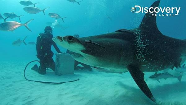 Discovery頻道鯊魚週歡慶30週年《貝爾鯊魚鬥》 貝爾身穿戴最新電場趨鯊裝備 與雙髻鯊近距離接觸