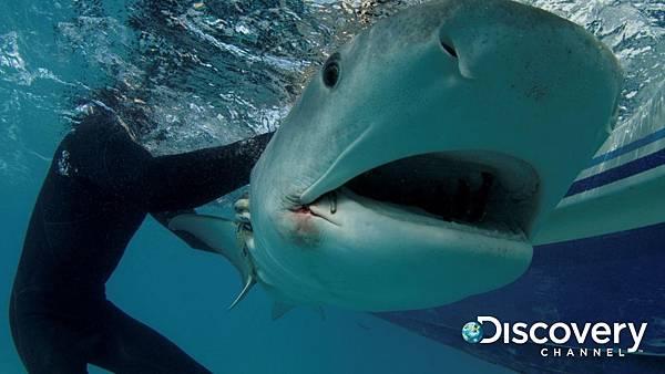 Discovery頻道鯊魚週歡慶30週年《貝爾鯊魚鬥》 地表最強求生專家貝爾潛入海底釋放一隻被釣線勾住的鼬鯊