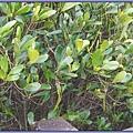 新屋鄉沿海 - 紅樹林植物「水筆仔」
