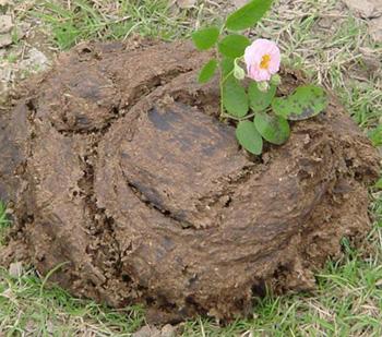 一朵鮮花插在牛糞上.jpg