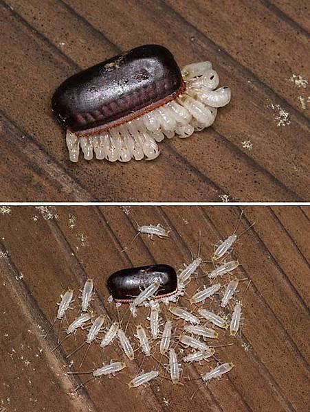 蟑螂的誕生..噁