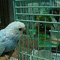 小太陽怒瞪~牠不喜歡別的鳥