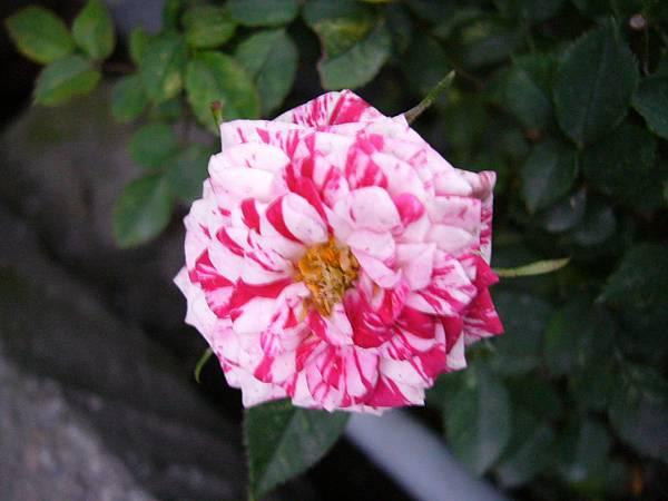 迷你玫瑰(雙色)
