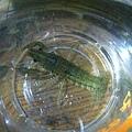龍紋螯蝦上方