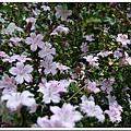 24693523:紫丁香