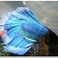 24707200:半月鬥魚(藍色白邊)