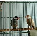 24926900:黑文鳥-酷樂