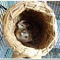24927010:鳥巢鼠窩