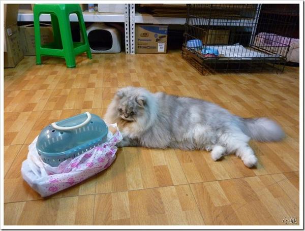 25253771:拍拍大貓咪