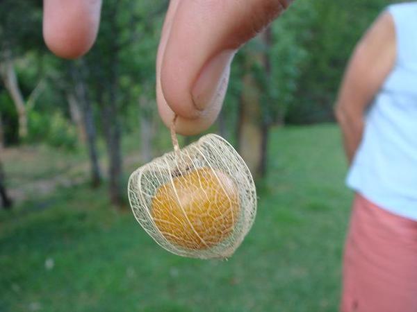 可愛又好吃的果實
