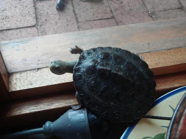 每天把烏龜抓出魚缸放地毯散步