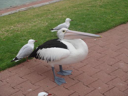 可愛的大嘴鳥-- pelican