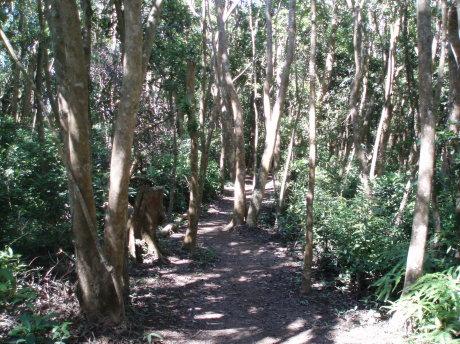 森林浴步道(大頭茶林)。