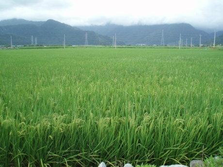 湧泉湖附近的大片稻田。