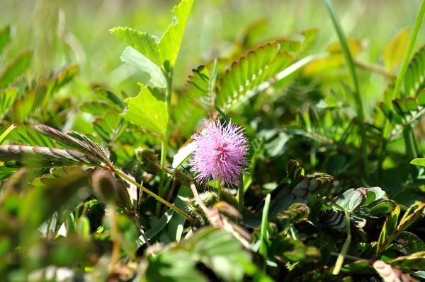 含羞草花1.jpg