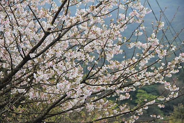 2014陽明山花季 191 (1024x683).jpg
