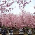 拉拉山恩愛農場最美櫻花盛地 080 (1024x683).jpg