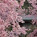 拉拉山恩愛農場最美櫻花盛地 143 (1024x683).jpg