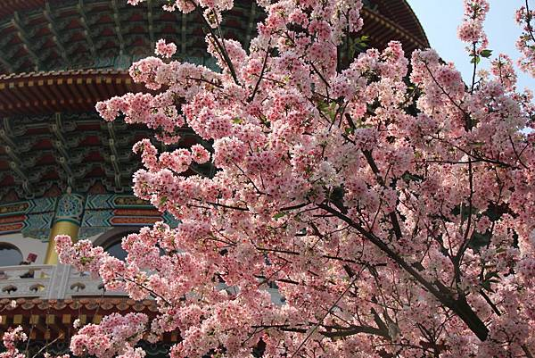 2015天元宮櫻花 056 (1024x683).jpg