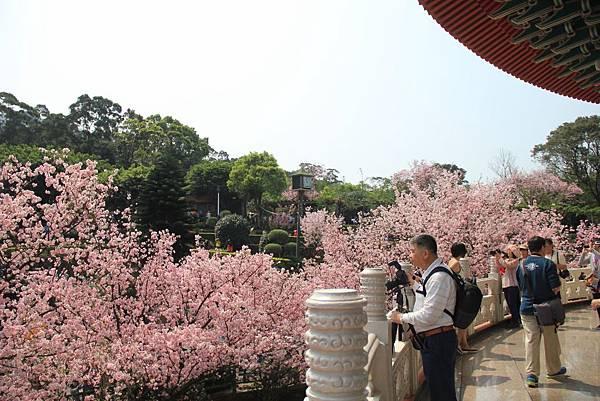 2015天元宮櫻花 086 (1024x683).jpg