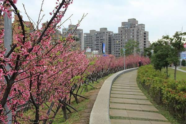 內湖樂湖公園櫻花 008 (1024x683).jpg