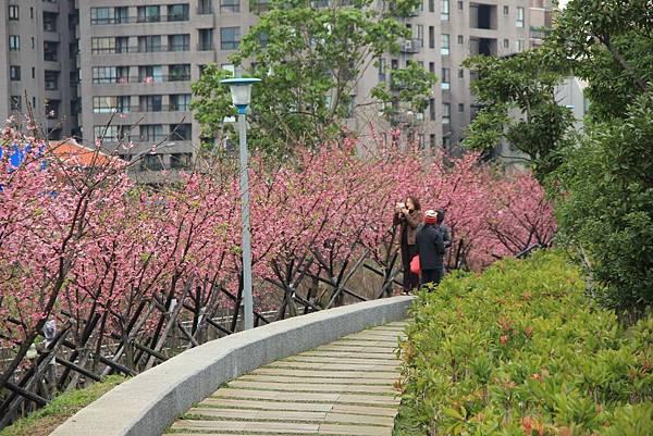 內湖樂湖公園櫻花 009 (1024x683).jpg