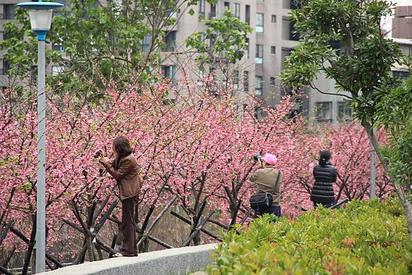 內湖樂湖公園櫻花 013 (1024x683).jpg