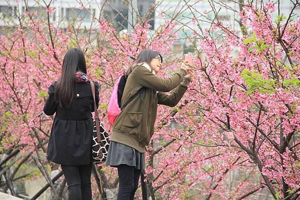 內湖樂湖公園櫻花 014 (1024x683).jpg