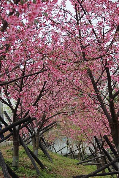 內湖樂湖公園櫻花 028 (683x1024).jpg