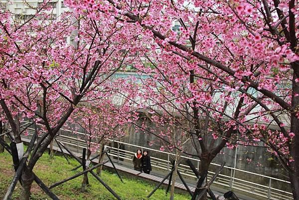 內湖樂湖公園櫻花 030 (1024x683).jpg