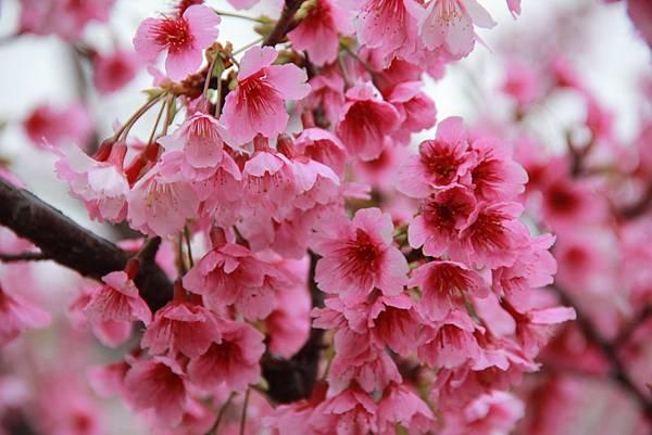 內湖樂湖公園櫻花 034 (1024x683).jpg