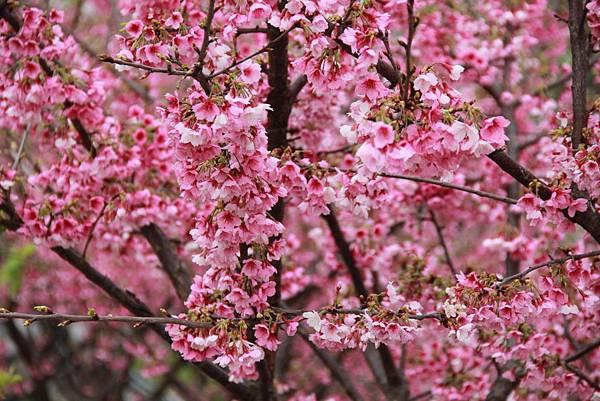 內湖樂湖公園櫻花 038 (1024x683).jpg