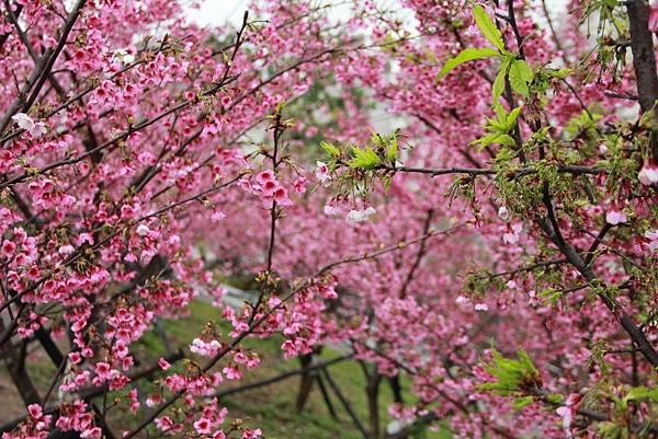 內湖樂湖公園櫻花 040 (1024x683).jpg