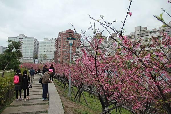 內湖樂湖公園櫻花 042 (1024x683).jpg