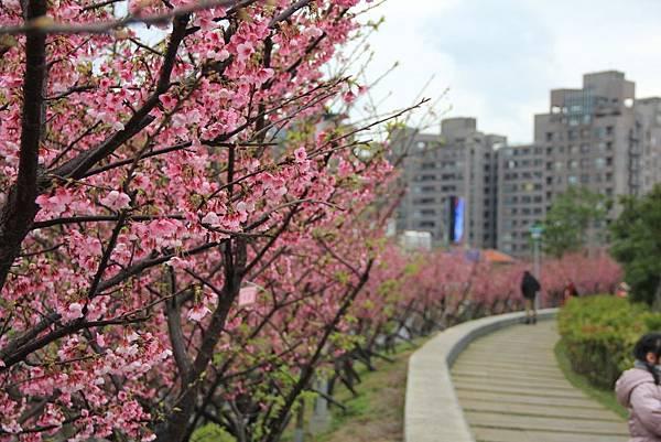 內湖樂湖公園櫻花 054 (1024x683).jpg