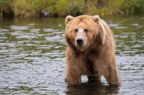 人臉辨識太普通了!矽谷已工程師開發熊臉辨識人工智慧來保育棕熊!