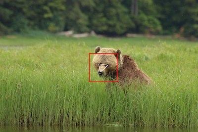 ai-bear-face-detect.jpg