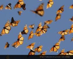 帝王蝶的飛舞 - 複製