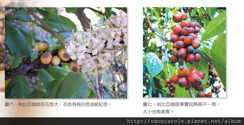利比亞咖啡豆與花.jpg