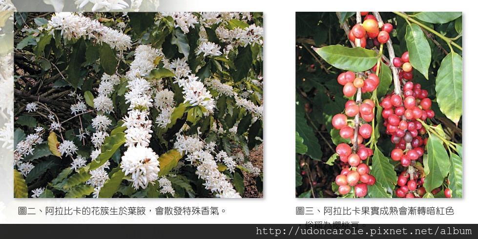 阿拉比卡咖啡豆與花.jpg