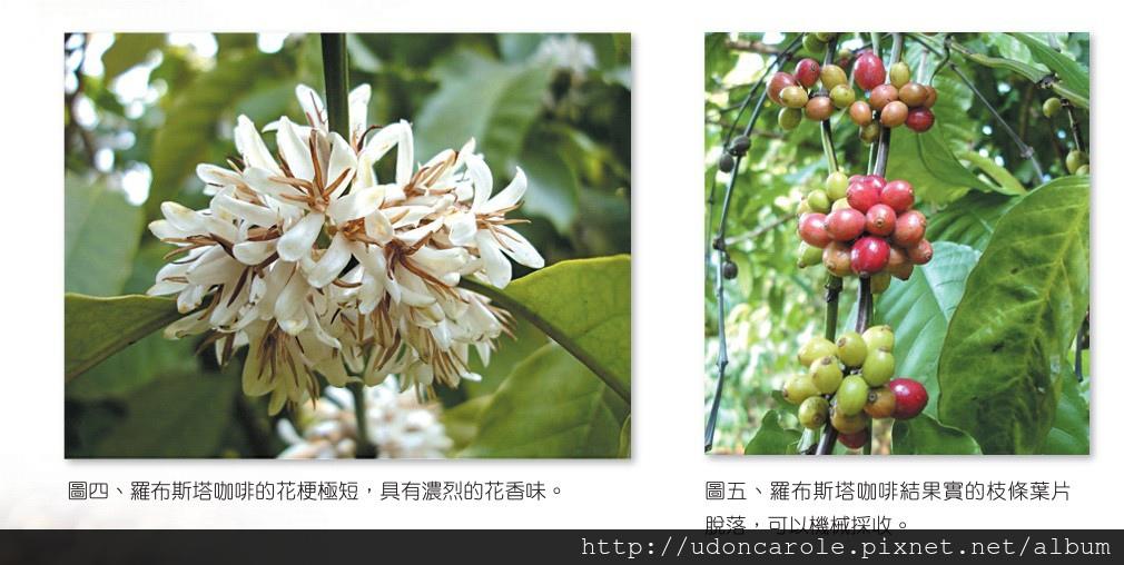 羅布斯塔咖啡豆與花.jpg
