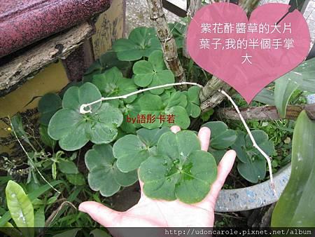 紫花酢醬草的大片葉子.jpg